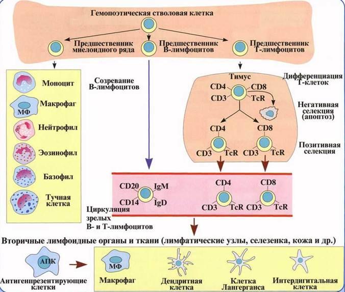 без проблем трансформация в-лимфоцитов в плазматические клетки действительно есть